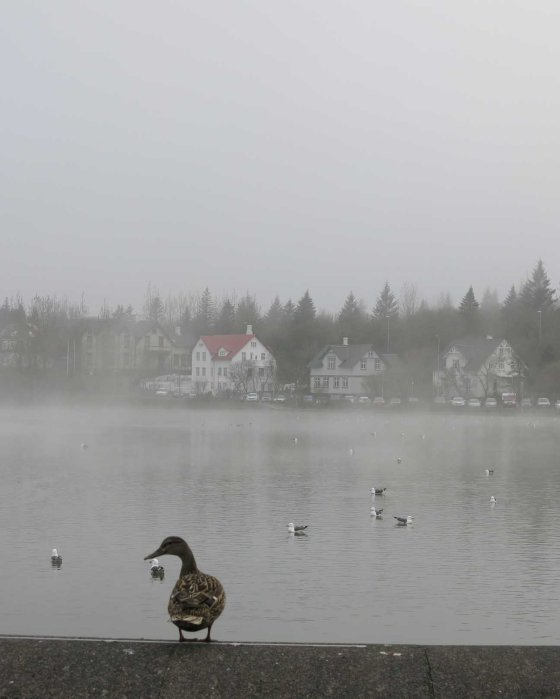 fog & duck