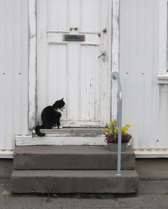 Reykjavik kitty